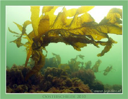 Our cold waters are green ofcourse. These Wakame can be i... by John De Jong 
